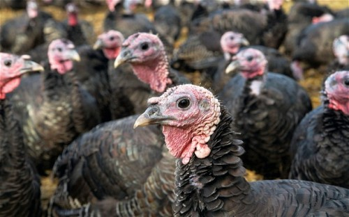 High-welfare (whatever that means) turkeys from England
